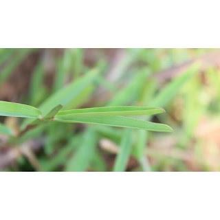gambar detail daun Rumput Stenotaphrum Secundatum detail