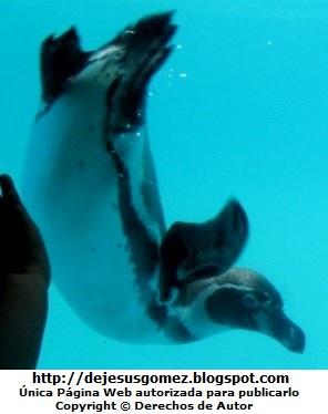 Foto de un pingüino saludando dentro del agua - Parque de las Leyendas.  Foto del pinguino de Jesus Gómez