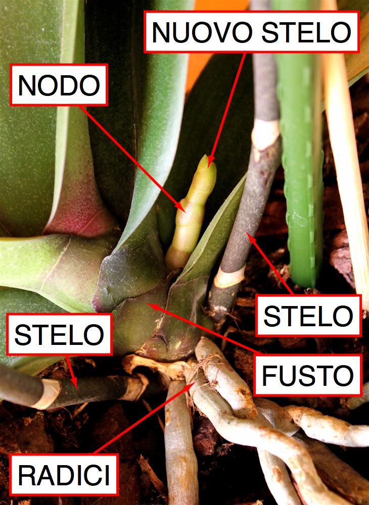 Chamerion blog di giardinaggio viaggi natura for Nuovo stelo orchidea