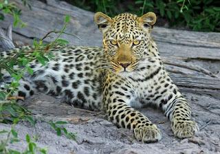 About Leopard. तेंदुआ।