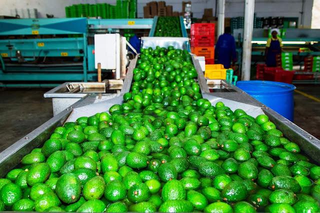 sasini avocado farming in Kenya
