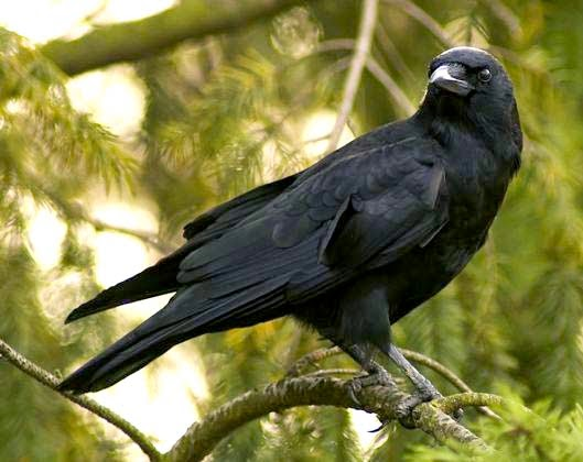 http://1.bp.blogspot.com/-uHngAbq_yFc/U_7V8dkRUlI/AAAAAAAABSg/7iyYjKiJvCY/s1600/burung-gagak-hitam.jpg