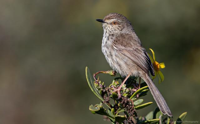 Perched Karoo Prinia Table Bay Nature Reserve Woodbridge Island Copyright Vernon Chalmers Photography