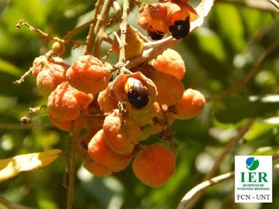 frutos de Cupania vernalis