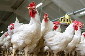 Cara Ternak Ayam Potong 100 Ekor
