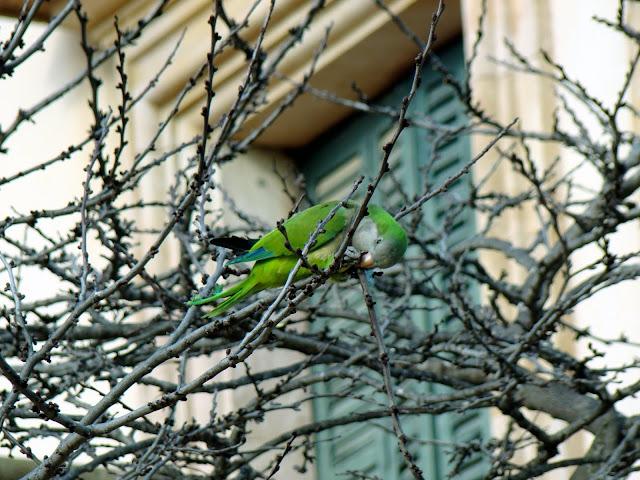 Zielona papużka - sympatyczna mieszkanka Barcelony