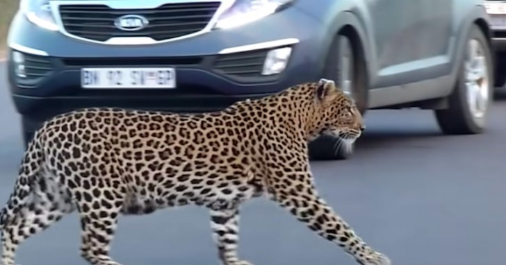 Mother Leopard Teaching Her Cubs Cross The Road, The Video Is Wonderful
