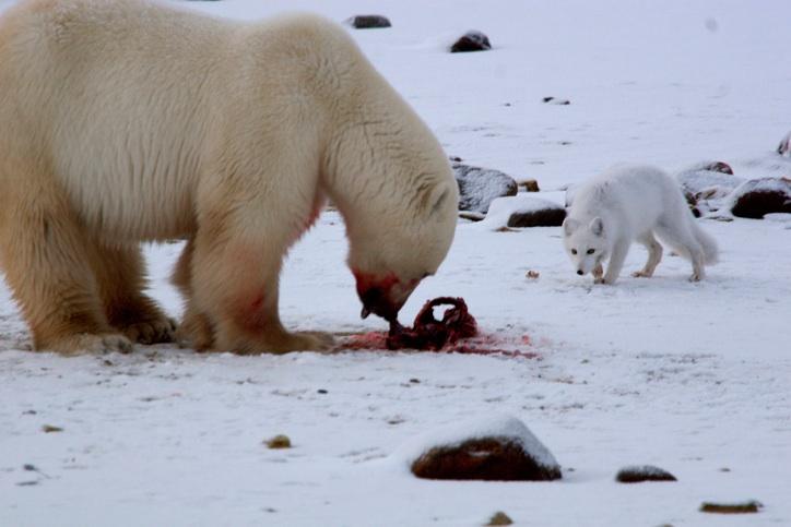 polar bear and arctic fox relationship