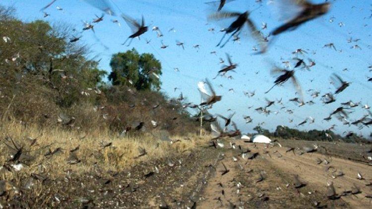 Una manga de langostas llegó a Corrientes y preocupa en Entre Ríos, Brasil y Uruguay