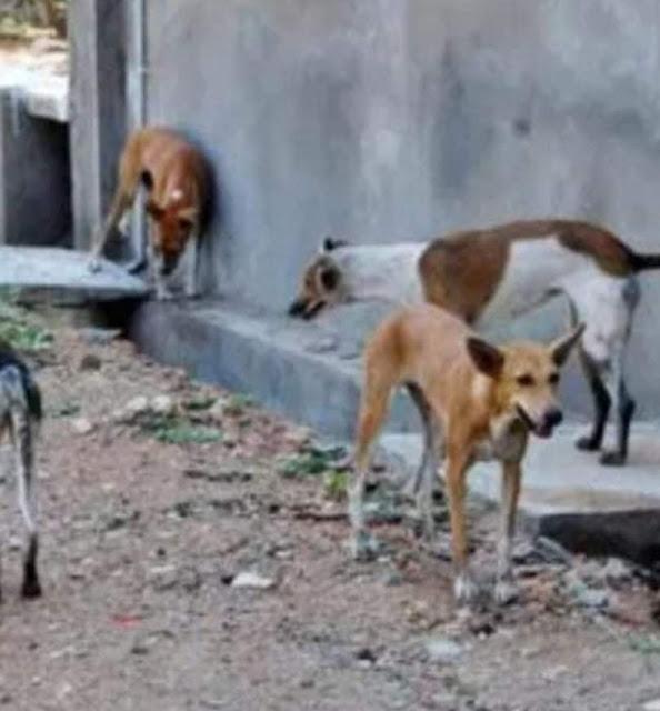 انتشار الكلاب الضالة تهدد المواطنين بعمارات ترعة نجع حمادي بسوهاج