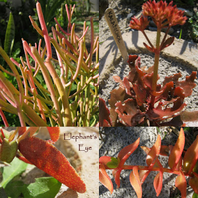 orange and red succulent leaves firesticks, Kalanchoe crassulas
