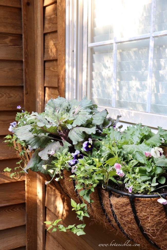 French inspired fall window box basket uses cool weather pansies ivy ornamental kale