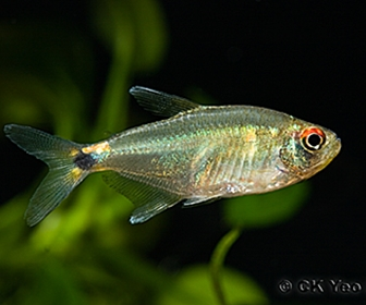 Beacon tetra, Hemigrammus ocellifer