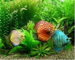 ikan hias air tawar terindah ikan discus