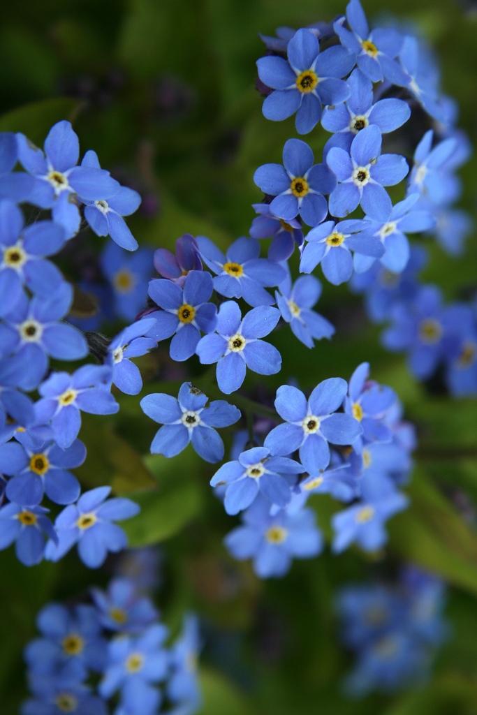 Hoa luu ly là biểu tượng của tình yêu