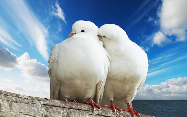 Twee witte duiven