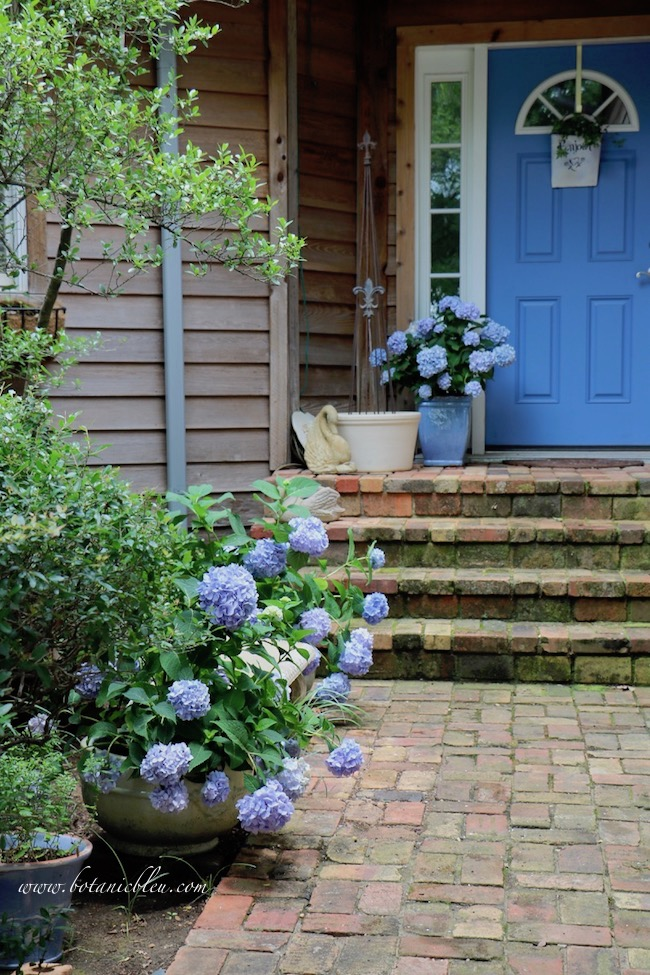 Summer Courtyard Hidden Garden with Blue Hydrangeas coordinated with blue front door
