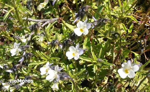 Pensamiento de campo Viola arvensis