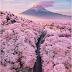 Japan Cherry Blossom: la fioritura dei ciliegi in haiku