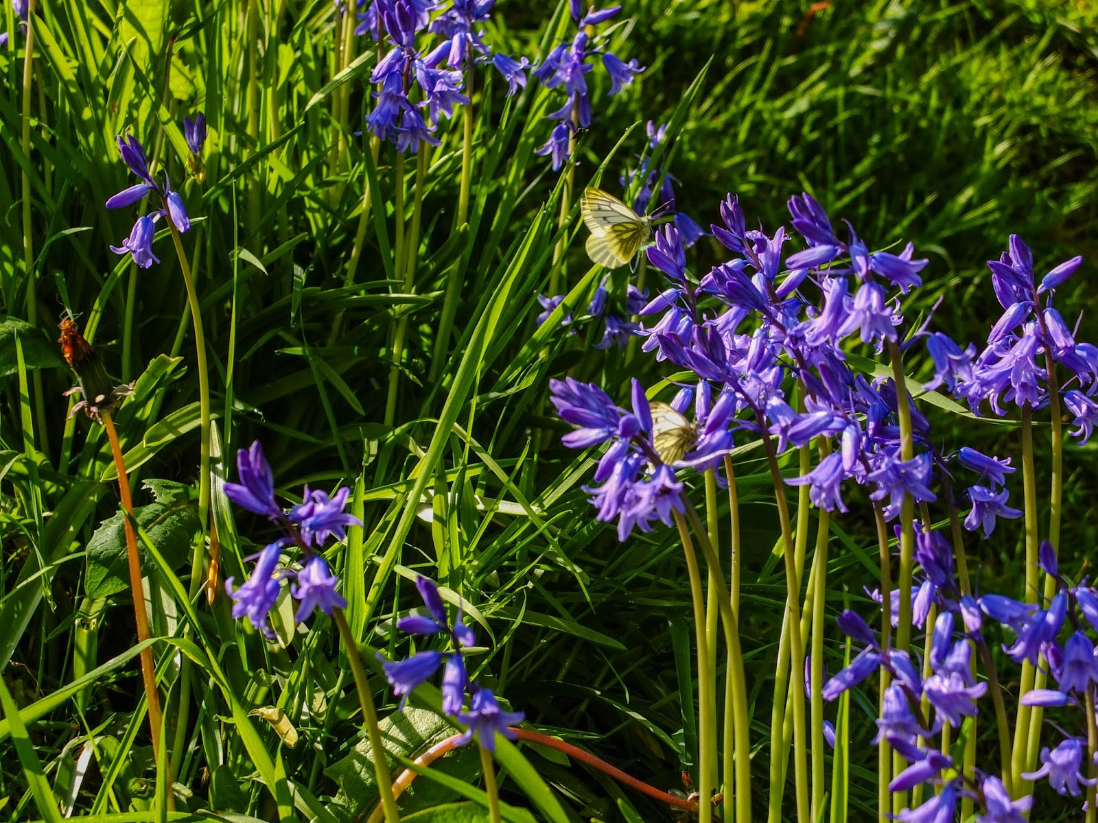 Light yellow, white butterflies collecting nectar from bluebell flowers.