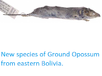 http://sciencythoughts.blogspot.co.uk/2012/08/new-species-of-ground-opossum-from.html