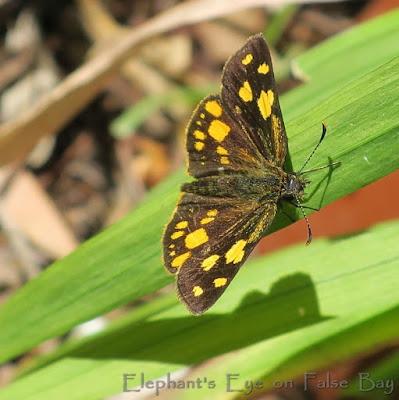 Skipper butterfly Metisella metis