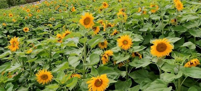 New Stunning sunflower fields in Fansipan Legend, Vietnam