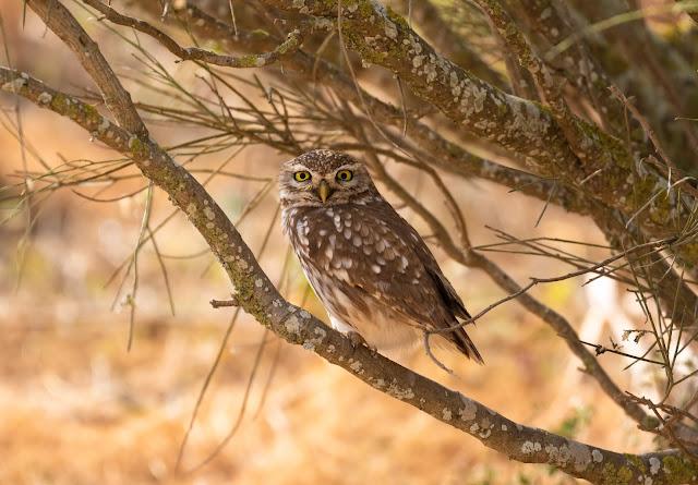 Desert Little Owl - Oued Massa, Morocco