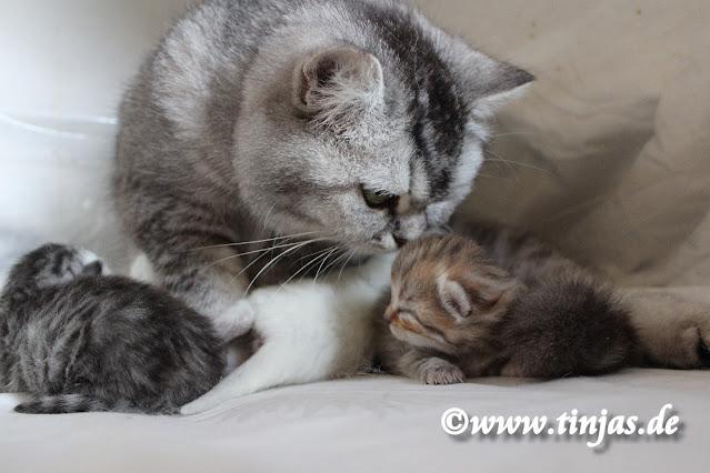 Britisch Kurzhaar Katzenbabys tinjas