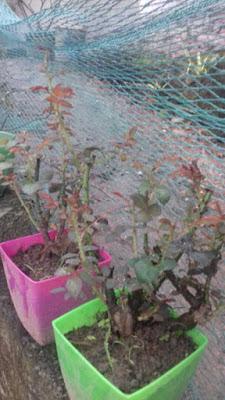chậu cây hoa hồng rễ trần đơn giản thôi chỉ cần có thuốc kích rễ n3m