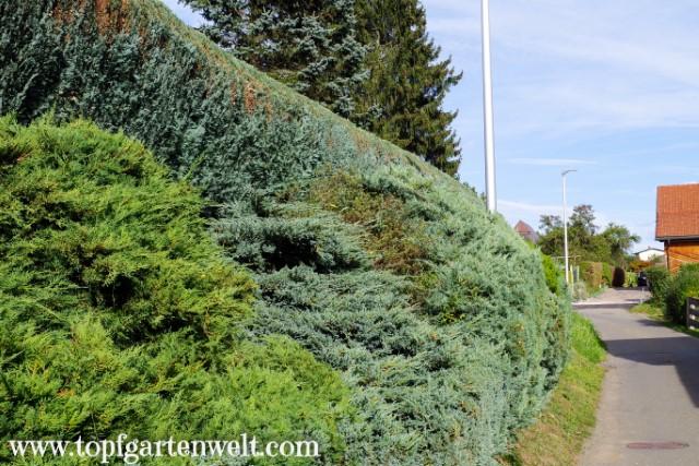 Hecke als natürlicher Sichtschutz und Lebensraum für Tiere - Gartenblog Topfgartenwelt