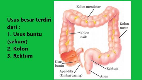 bagian-bagian usus besar antara lain : usus buntu (sekum), kolon, rektum dan anus