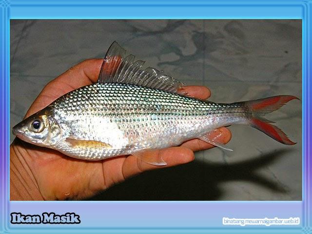 gambar ikan masik