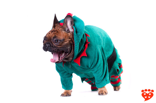 Dog body language quiz: Can you tell if this French Bulldog in an elf costume is happy or stressed?