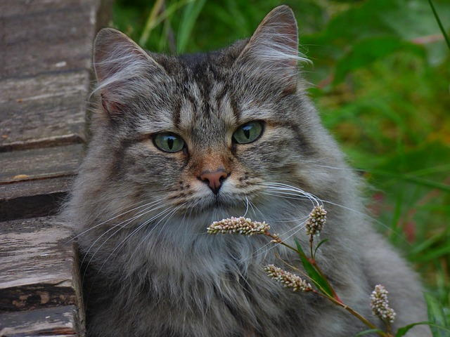 قطط الغابات النرويجية