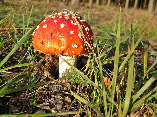 grzyby trujące, piękne grzyby, rozpoznawanie grzybów