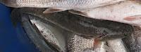 gambar ikan gabus channa sriatta