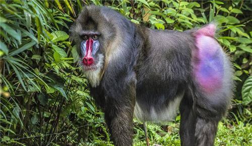 Khỉ mandrill