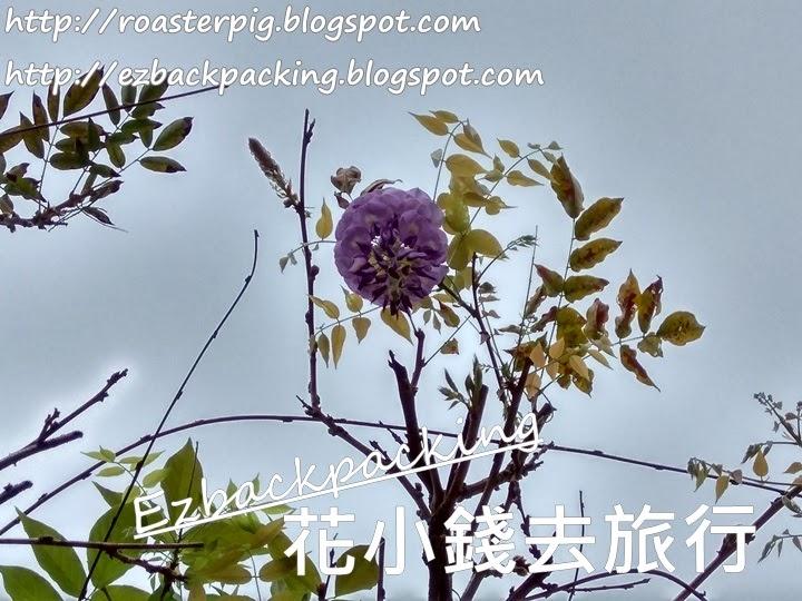 土瓜灣紫藤花2021