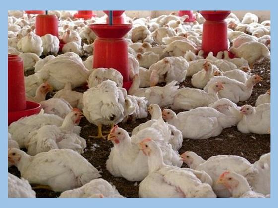 ayam boiler adalah salah satu hasil persilangan pada hewan