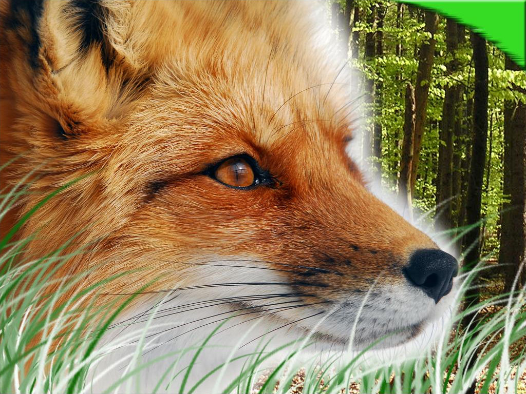 red foxes wallpapers pets cute and docile