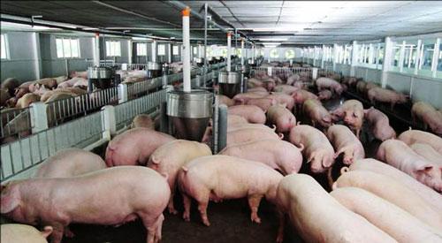 Hà Nội hỗ trợ 100% lãi suất tiền vay cho các hộ chăn nuôi