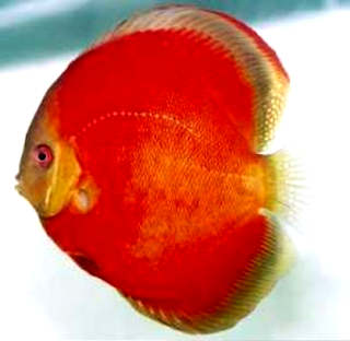 Ikan jenis discus red melon