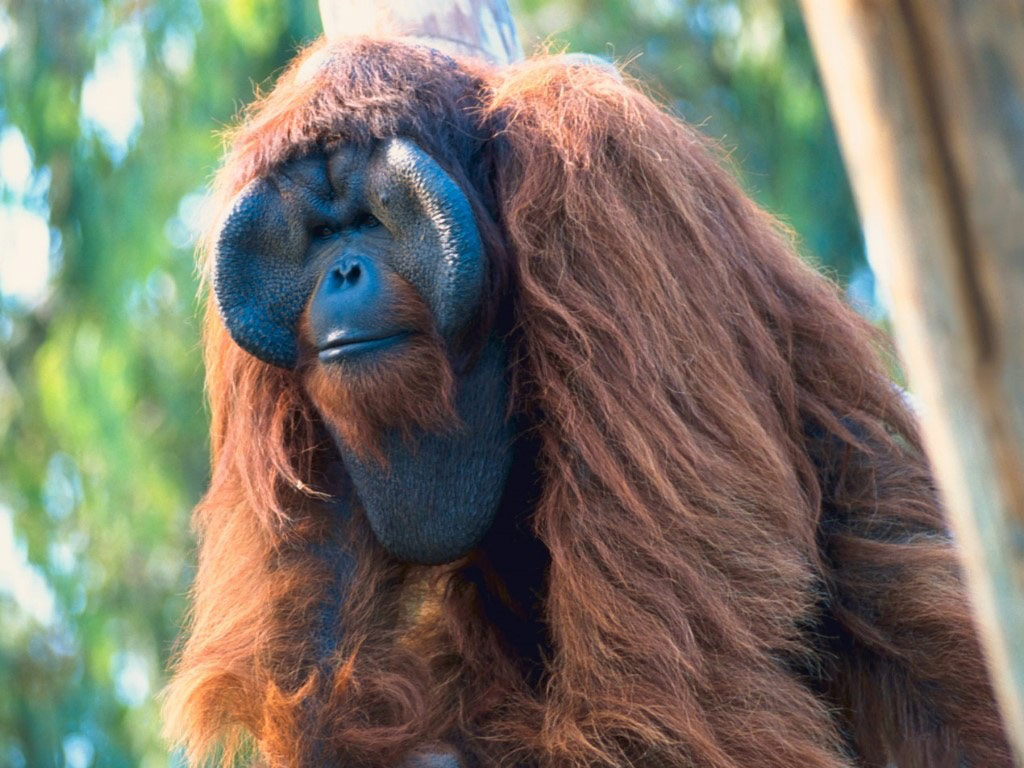 Cigarette Wallpaper Hd Orangutan The Biggest Animals Kingdom