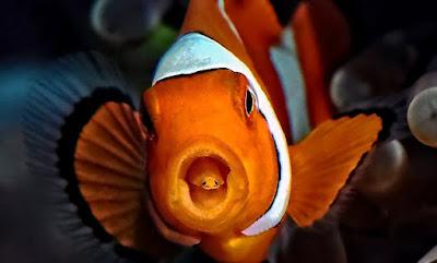 Makanan Ikan Clownfish