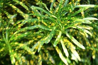 <img scr='nama_file_gambar.jpg'  alt='Pohon Puring Teri' />
