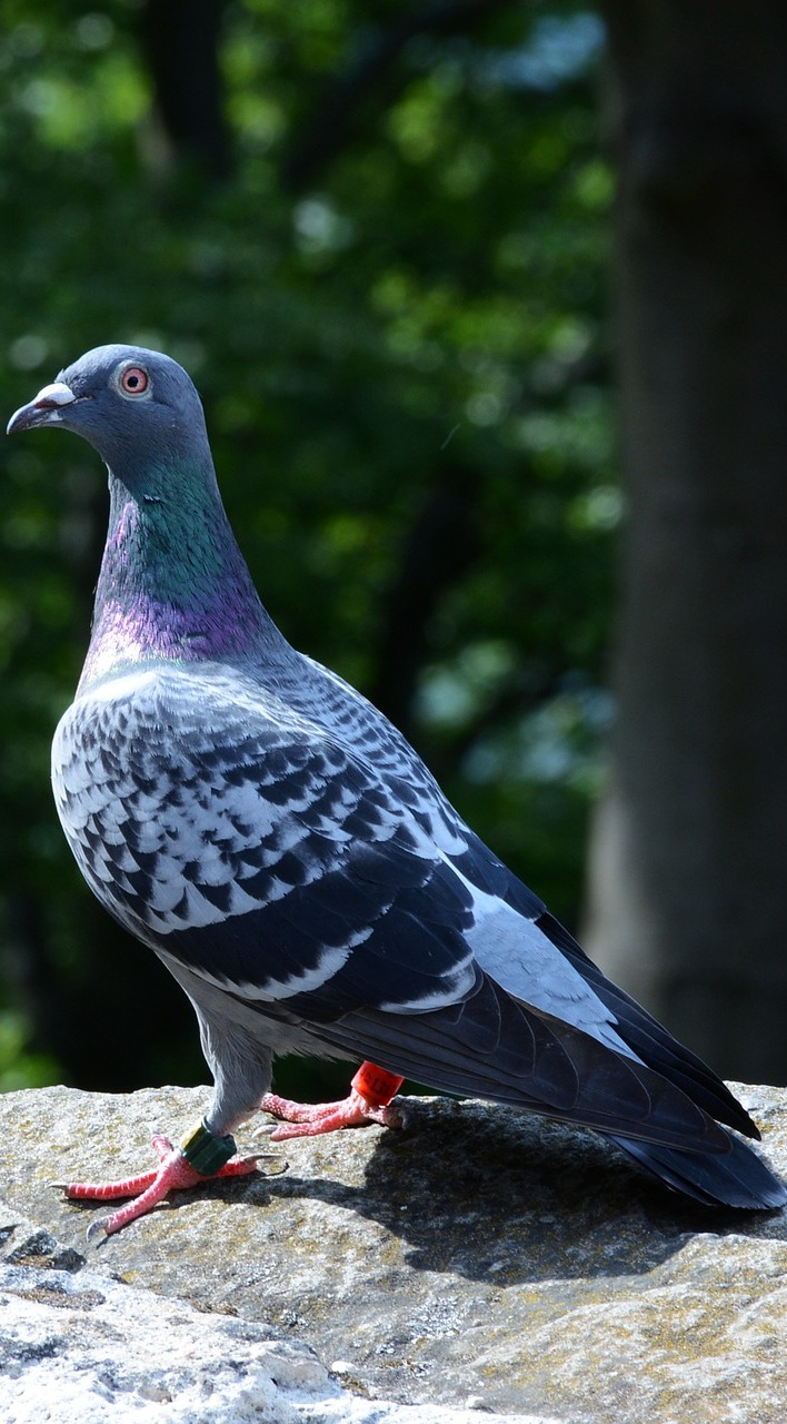 Photo of a pigeon.