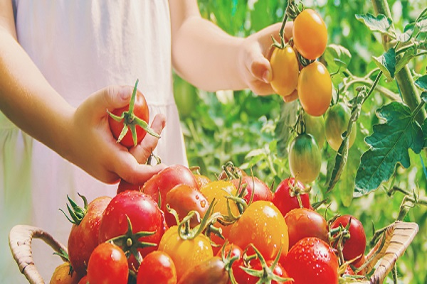 Tomato Content And Health Benefits That You Will Get From Consuming Tomatoes