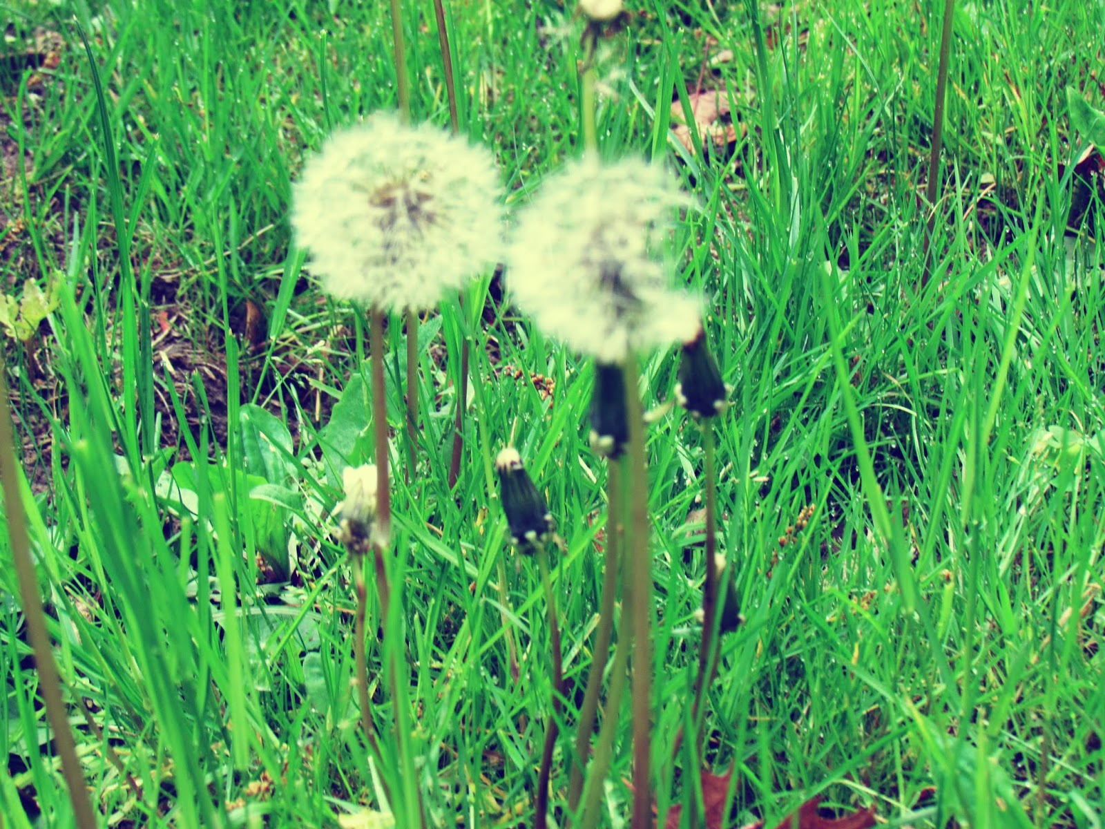 A Pair of Dandelions Blowing in the Wind Spreading Wishes Throughout Planet Earth