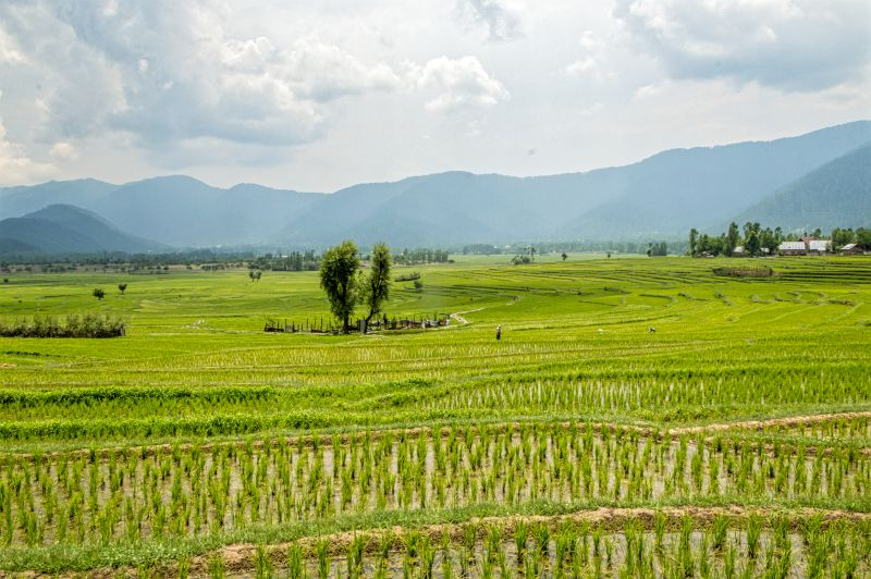 Another view of Paddy fields